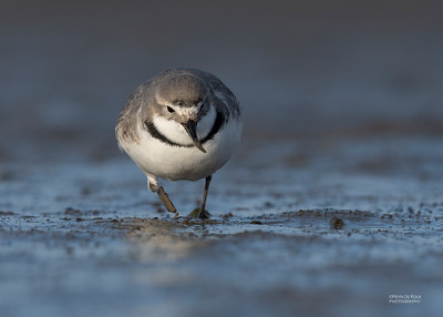 Wrybill, Christchurch, SI, NZ, Sep 2018-5