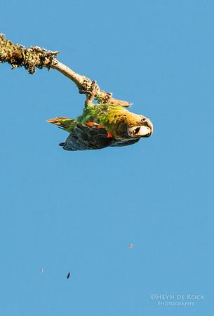 Cape Parrot, Hogsback, EC, SA, Dec 2013