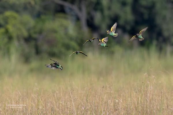 Meyer's Parrot, Eagle Island, Okavango Delta, Botswana, May 2017-1