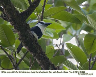 White-necked Puffbird A84522