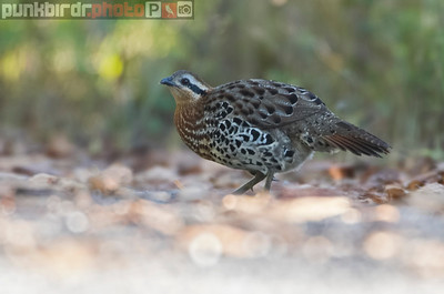 Mountain Bamboo Partridge (Bambusicola fytchii)