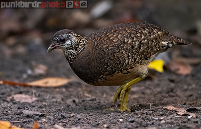 Green-legged Partridge (Arborophila chloropus cognacqi)