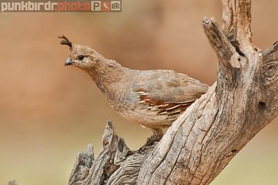 gambel's quail (callipepla gambelii)