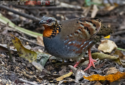 Rufous-throated Partridge (Arborophila rufogularis)
