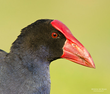 Purple Swamphen, Clear Island Waters, QLD, Aus-1