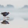 Purple Swamphen, Pitt Town Lagoon, NSW, Aus, Oct 2013-0