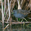 Australian Spotted Crake, Lake Cargelligo, NSW, Oct 2011-1