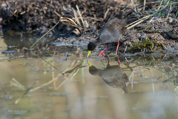 Black Crake, Kruger NP, MP, SA, Sept 2015