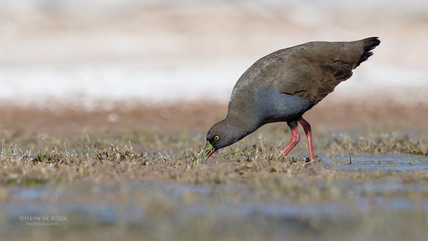 Black-tailed Nativehen, Bowra, Cunnamulla, QLD, Aus, Sept 2017-6