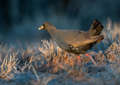 Black-tailed Nativehen, Bowra, Cunnamulla, QLD, Aus, Sept 2017-4