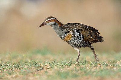 Buff-banded Rail, Lady Elliot Island, QLD, Dec 2015-5