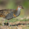 Buff-banded Rail, Lady Elliot Island, QLD, Dec 2015-1