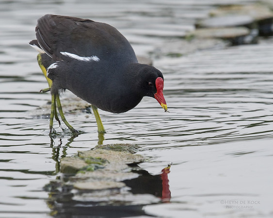 Common Moorhen, Intaka Island, Cape Town, Sept 2016-1