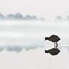 Eurasian Coot, Pitt Town Lagoon, NSW, Aus, Oct 2013