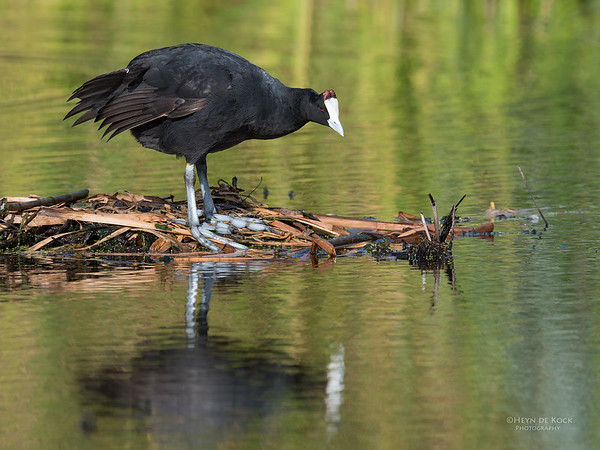 Red-knobbed Coot, Intaka Island, Cape Town, Sept 2016-2