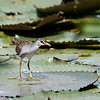 White-browed Crake, Innesvale, Qld, Aus, Dec 2009