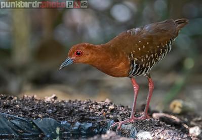 Red-legged Crake (Rallina fasciata)
