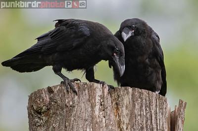 Common Raven juveniles (Corvus corax)