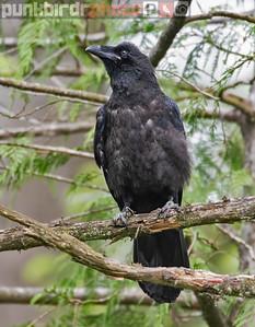 Common Raven juvenile (Corvus corax)