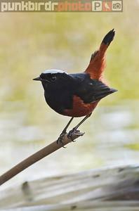 River Chat (Chaimarrornis leucocephalus)