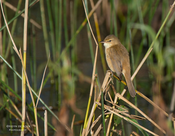 Australian Reed-warbler, Sandy Camp Wetlands, QLD, Aus, Jun 2013