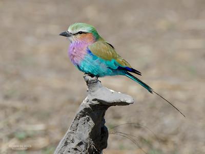 Lilac-breasted Roller, Chobe NP, Botswana, Jul 2011