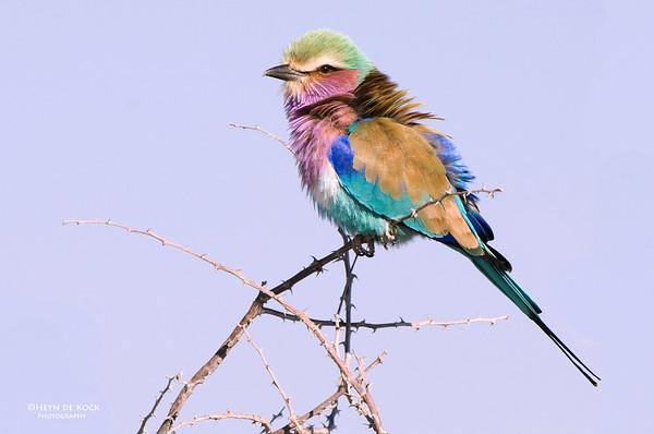 Lilac-breasted Roller, Etosha, Namibia, Jul 2011-3