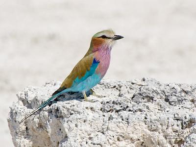 Lilac-breasted Roller, Etosha NP, Namibia, July 2011-1