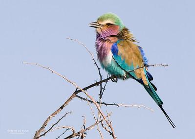 Lilac-breasted Roller, Etosha, Namibia, Jul 2011