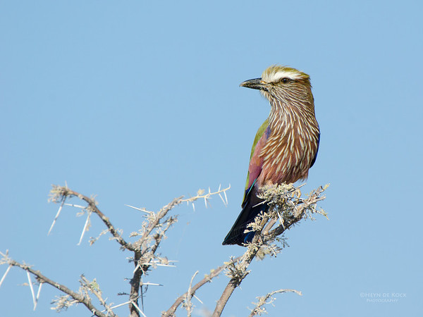 Purple Roller, Etosha, Namibia, Jul 2011-1