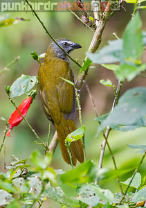 Buff-throated Saltator (Saltator maximus)