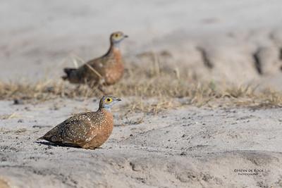 Burchell's Sandgrouse, Khwai River Concession, Botswana, May 2017-3