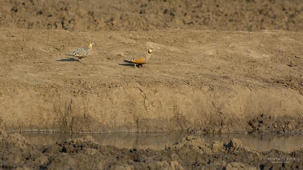 Yellow-throated Sandgrouse, Madikwe GR, NW, SA, Sep 2015