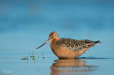 Bar-tailed Godwit, Shoalhaven Heads, NSW, March 2013-3