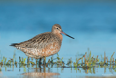 Bar-tailed Godwit, Shoalhaven Heads, NSW, March 2013-2