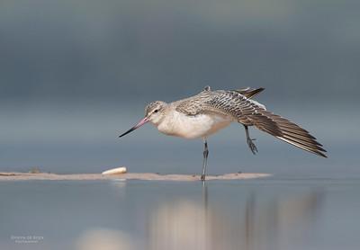 Bar-tailed Godwit, Lake Woolumbulla, NSW, Aus, Jan 2013