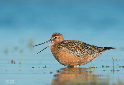 Bar-tailed Godwit, Shoalhaven Heads, NSW, March 2013-6