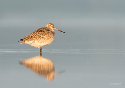 Bar-tailed Godwit, Shoalhaven Heads, NSW, March 2013