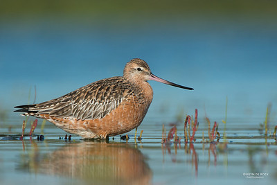 Bar-tailed Godwit, Shoalhaven Heads, NSW, March 2013-1