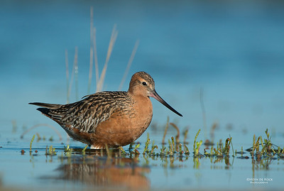 Bar-tailed Godwit, Shoalhaven Heads, NSW, March 2013-4
