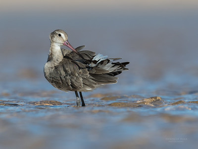 Black-tailed Godwit, Lake Wollumboola, NSW, Aus, Nov 2016-6
