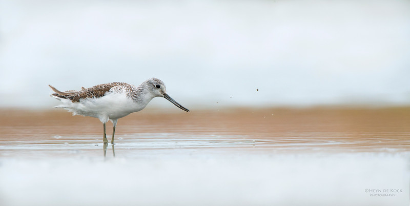 Common Greenshank, Western Treatment Plant, VIC, Apr 2014-1
