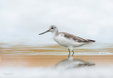Common Greenshank, Western Treatment Plant, VIC, Apr 2014