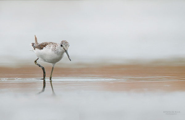 Common Greenshank, Western Treatment Plant, VIC, Apr 2014-3