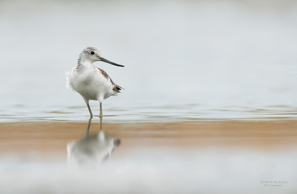 Common Greenshank, Western Treatment Plant, VIC, Apr 2014-2
