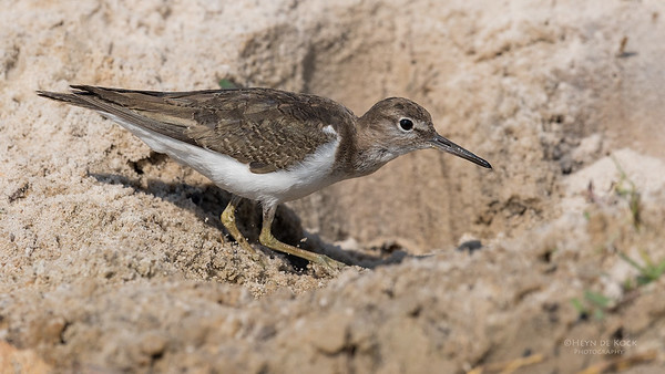 Common Sandpiper, Chobe River, NAM, Oct 2016-1