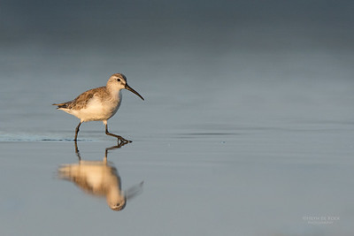 Curlew Sandpiper, Lake Wollumboola, NSW, Nov 2014-2
