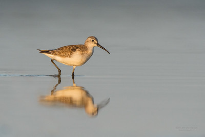 Curlew Sandpiper, Lake Wollumboola, NSW, Nov 2014