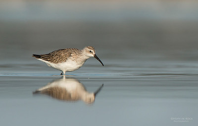 Curlew Sandpiper, Lake Wolumboola, NSW, Aus, Nov 2013-1