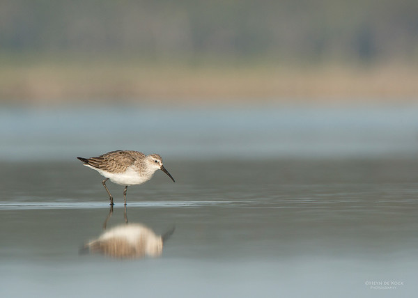 Curlew Sandpiper, Lake Wolumboola, NSW, Aus, Nov 2013